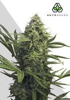 Auto Seeds Sweet CBD Auto Feminized
