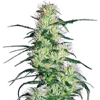 White Label Seed Company Purple Haze Feminized
