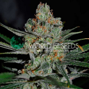 Afghan Kush Early Version - Feminized - World of Seeds