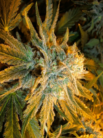 Sensible Seeds Premium Selection Power Plant Feminized (PICK N MIX)