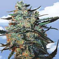 Flying Dutchmen Seeds Female Mix Feminized