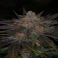 TGA Subcool Seeds Ripped Bubba Regular