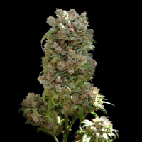 VIP Seeds White Spanish Feminised