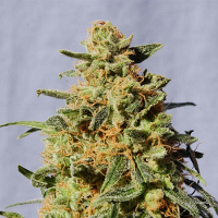 Kannabia Seeds White Domina Feminized