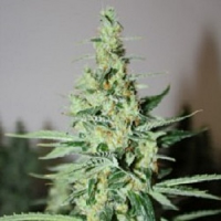 Rare Dankness Seeds Tangerine Trainwreck Haze Regular