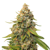 Seed Stockers Seeds Golden Lemon Haze Feminized