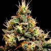 BlimBurn Seeds Kabrales Feminized