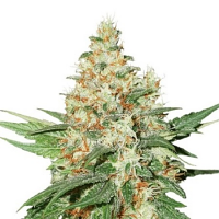 Seed Stockers Seeds O.G. Kush Auto Feminized