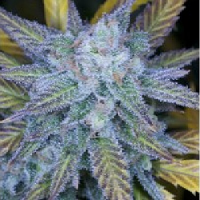 Archive Seeds Lemon Amnesia Regular