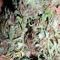 KC Brains Seeds Bahia Blackhead Feminized