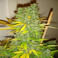 Devil's Harvest Seeds Dazy Jones Regular