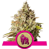 Royal Queens Seeds Royal Gorilla Feminized