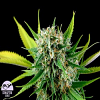 Dinafem Seeds Royal Haze Feminized (PICK N MIX)