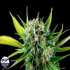 Dinafem Seeds Royal Haze Feminized (PICK N MIX)