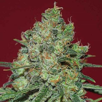 Expert Seeds Clinical White CBD Feminized