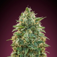 Amnesia - Feminized - Advanced Seeds