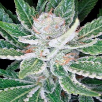 DNA Genetics Seeds Sleestack Feminized