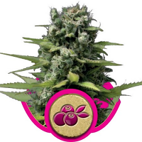 Royal Queen Seeds Haze Berry Feminized