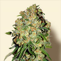 Bulk Seeds Critical+ Feminized