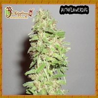 Dr Krippling Seeds Dizzy Lights Auto Feminized