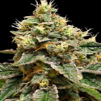 DNA Genetics Seeds OG LA Affie Feminised