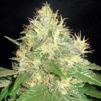 Bulk Seeds Northern Lights x Chronic Feminized