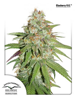 Glueberry O.G.® - Feminized - Dutch Passion