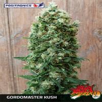 Positronics Seeds Gordo Master Kush Feminized