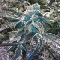 BC Bud Depot Seeds Girl Scout Cookies Feminized
