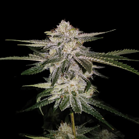 DNA Genetics Seeds MISS U.S.A. Feminized