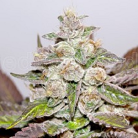 Medical Seeds Mendocino Purple Kush Feminised