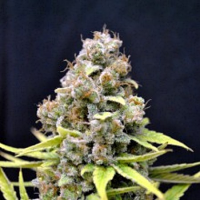 CBD Crew Shark Shock Feminized