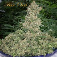 Mandala Seeds Far Out Feminized