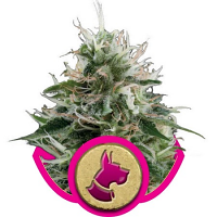 Royal Queen Seeds Kali Dog Feminized