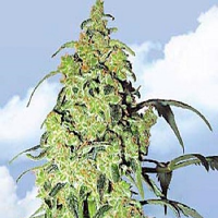 Flying Dutchmen Seeds White Widow Feminized