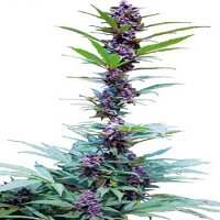 CannaBiogen Seeds Deluxe Mix Feminized