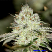 Sin City Seeds Night Fire OG Feminized