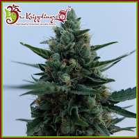 Dr Krippling Seeds White Rush Auto Feminized (PICK N MIX)