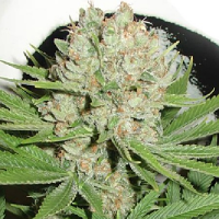 Homegrown Fantaseeds Blue Pearl Auto Feminized