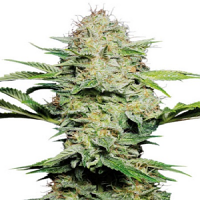 Sensi Seeds Sensi Skunk Auto Feminised