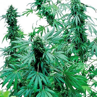 Bulk Seeds Early Skunk Feminized