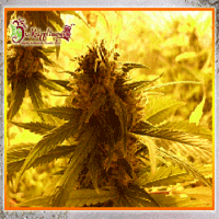 Dr. Krippling Seeds Ganj Of New York Feminized