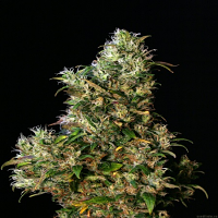 Eva Seeds High Level Feminized