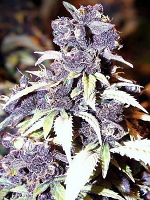 Bulk Seeds Premium The Blue Wizard Feminized