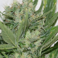 Resin Seeds Sour P Feminized