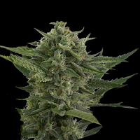 Devil's Harvest Seeds Auto Reek'n Feminized