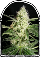 The KushBrothers Seeds Yellow Stone Feminized
