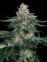 Orange Juice - Feminized - Dinafem Seeds (PICK N MIX)