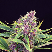 Kannabia Seeds Purple Kush Feminized