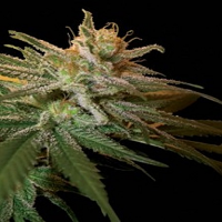 Kushberry - Feminized - DNA Genetics